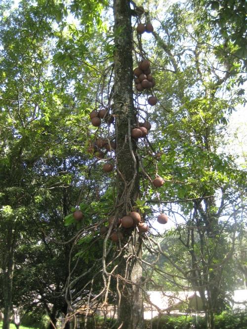 Kanonenkugelbaum / Canon ball tree