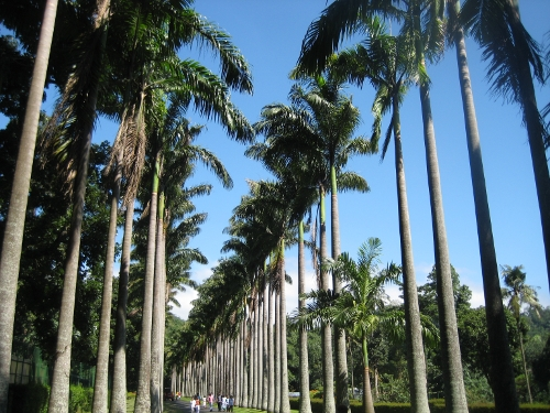 Kohlpalmenallee / Cabbage palm avenue