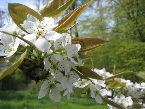Die Nashi Birne... ein unglücklicher Name, denn nashi ist japanisch für Birne... /  The nashi Pear... a misnomer as nashi is Japanese for pear